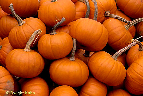 HS24-096a  Pumpkin - harvested - Baby Bear variety