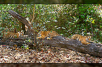 Vanvehi female of Zone 1, Tala zone,  in Bandhavgarh National Park has three one year old cubs.  After a very active morning together these two brothers and their sister find the perfect fallen tree to rest and wait for their mother's (Vanvehi Female) return from her hunt.