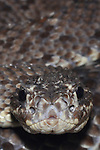 Chameleon rattlesnake ( Crotalus durissus ) Found in Western cenral Venezuela.