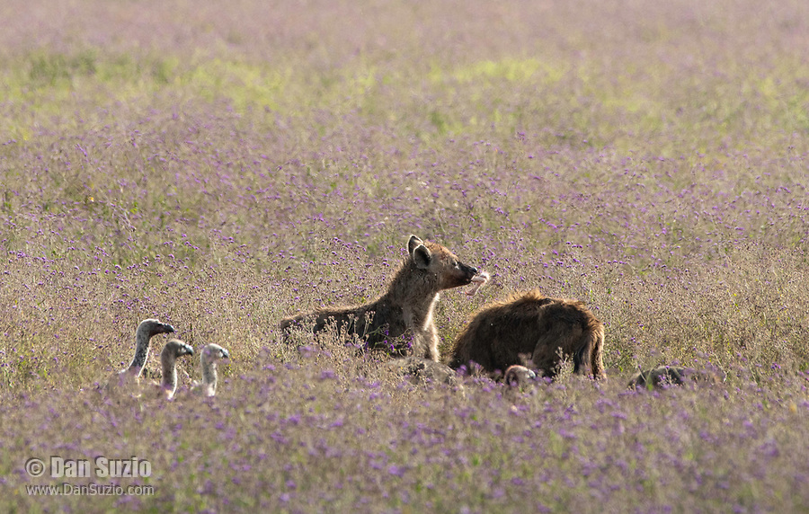 Two Spotted Hyenas, Crocuta crocuta, feed on the remains of a lion kill while three vultures stand nearby, waiting for their chance to eat. Ngorongoro Crater, Ngorongoro Conservation Area, Tanzania