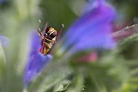 Hain-Schwebfliege, Weibchen, tupft Pollen mit Saugrüssel von Staubblatt, Blütenbesuch an Natternkopf, Echium vulgare, Gemeine Winterschwebfliege, Winter-Schwebfliege, Hainschwebfliege, Wanderschwebfliege, Wander-Schwebfliege, Schwebfliege, Parkschwebfliege, Episyrphus balteatus, Episyrphus balteata, Syrphus balteatus, marmalade hoverfly, female, Le Syrphe ceinturé, Syrphe à ceinture, Syrphe à ceintures