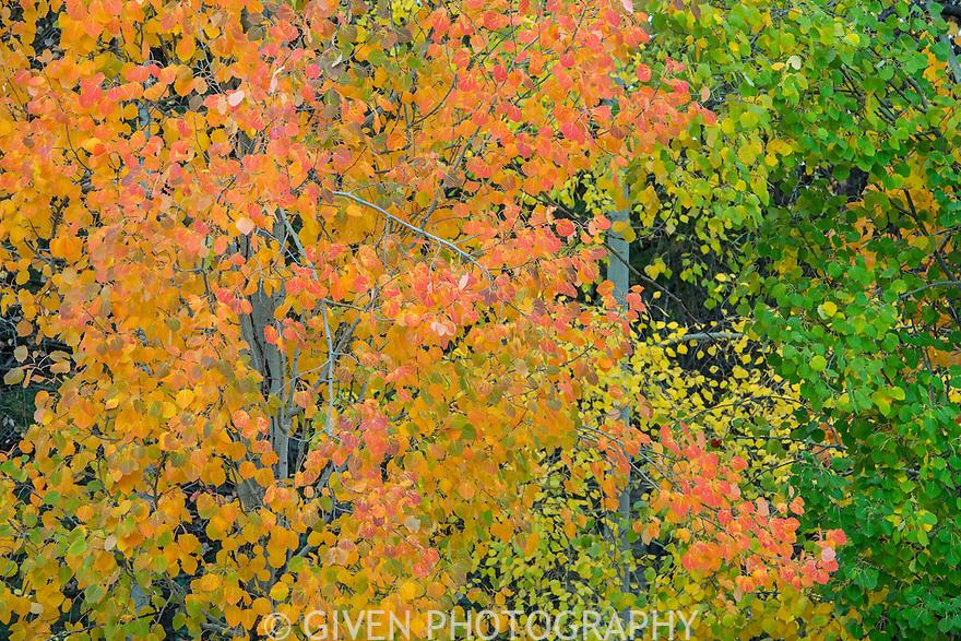 Aspen trees in autumn, Oregon