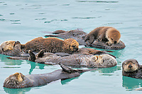 Alaskan or Northern Sea Otter (Enhydra lutris) raft.  Sea otter often rest and sleep together in an area that is protected from strong currents, wind and waves.  This paticular group (part of a larger raft) has two mothers with young pups. Alaska.