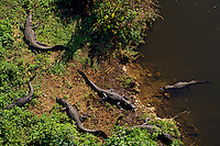 American Alligators (Alligator mississippiensis).  Spring.  Southeastern U.S.
