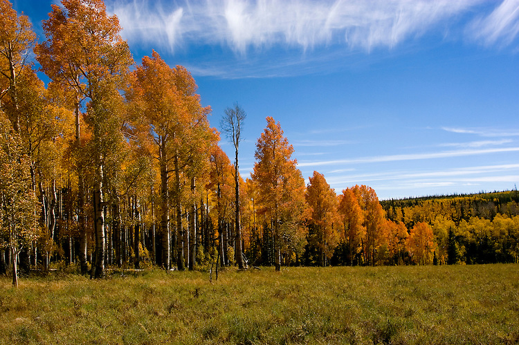 Golden Aspen leaves, aspen trees in fall, autumn, white bark, fall leaves, fall color, Markagunt Plateau, Cedar Mountain, Hwy 132, Mile Marker 24, Dixie National Forest, Utah, UT, Image ut322-18907, Photo copyright: Lee Foster, www.fostertravel.com, lee@fostertravel.com, 510-549-2202