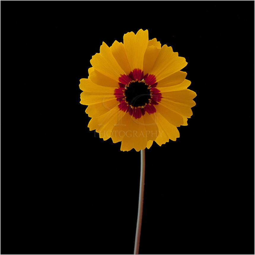 Portrait of a golden coreopsis against a black background - one of the nicest Texas wildflowers.