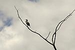 Coriander on dead tree limb.