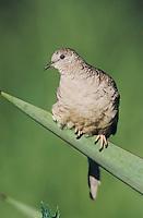 Inca Dove, Columbina inca, adult on Trecul Yucca (Yucca treculeana) , Lake Corpus Christi, Texas, USA