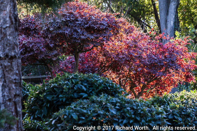 A brilliant red against green at the Japanese Garden.
