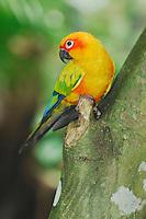 Sun Parakeet (Aratinga solstitialis), adult in tree, Guyana, Venezuela, Brazil