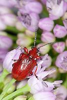 Maiglöckchenhähnchen, Maiglöckchen-Hähnchen, Rotbeiniges Lilienhähnchen, Lilioceris merdigera, onion beetle, Criocère du muguet