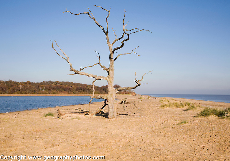 Dead tree standing on the shingle and sand bay bar separating freshwater Benacre Broad from the North Sea, Benacre, Suffolk, England