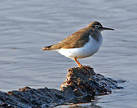 Adult spotted sandpiper in non-breeding plumage
