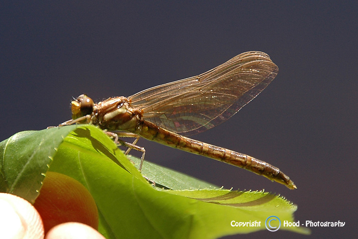 Transformation of a dragonfly