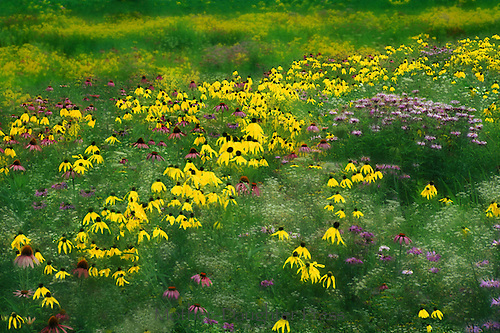 Meadow of Black eyed Susans (rudibeckia), coneflower and native grasses in field behind house