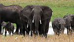 African Elephant Herd in the Tarangire National Park.(Loxodonta africana).during the dry season..August 14, 2006.© Fitzroy Barrett.