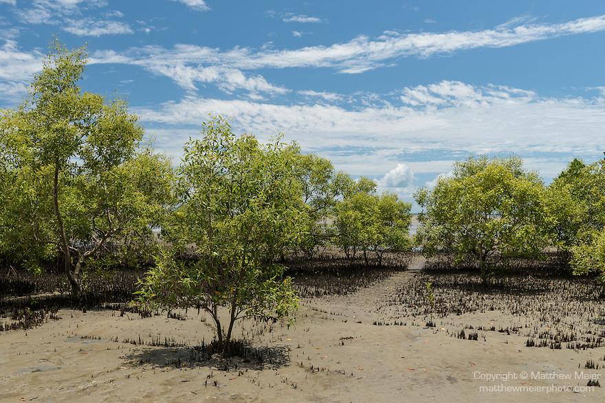 Cooya Beach, Port Douglas, Australia; established mangroves growing along the shoreline at low tide