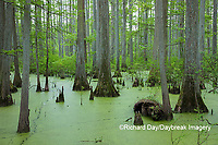 63895-14419 Bald Cypress trees (Taxodium distichum) Heron Pond Little Black Slough, Johnson Co. IL