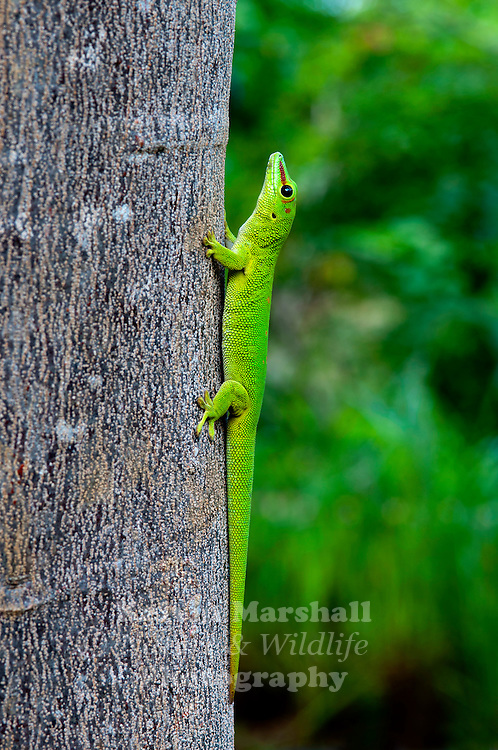 Madagascan Giant Day Gecko - (Phelsuma madagascariensis) - These geckos are part of the Phelsuma group, which consists of in excess of 70 species and subspecies. They are commonly referred to as the Madagascar giant day gecko, due to their large size. These geckos can grow to be over three feet long, and in some cases, as large as a small crocodile. These titanic reptiles sometimes eat other pets, and attack their owners. They are found in areas of tropical and subtropical forest in northern Madagascar. P. grandis feeds on various invertebrates, very small vertebrates, and nectars.