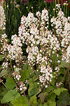 TIARELLA WHERRYI 'SILVERADO', FOAMFLOWER