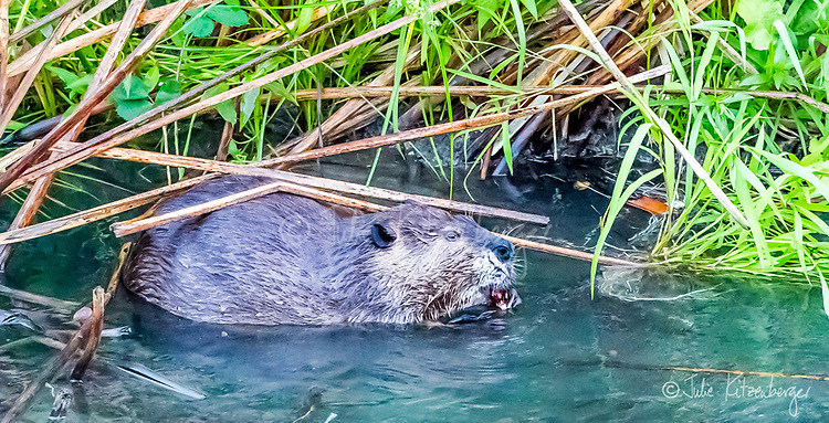2017-08-13_Urban Wildlife_Beaver