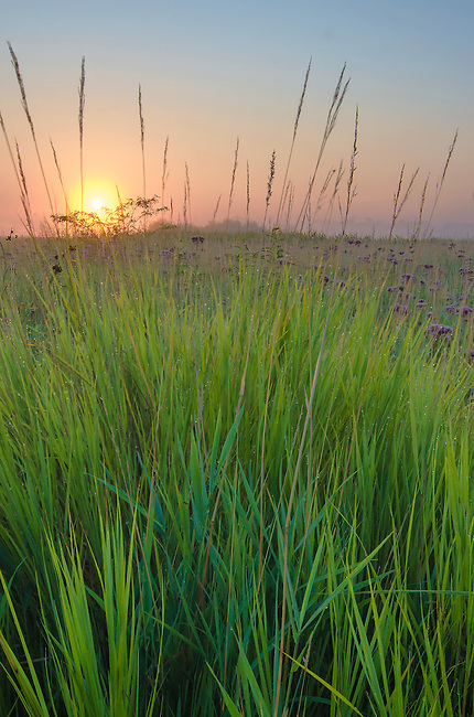 The sunrises over the prairie where Big Bluestem Grass grows in profusion at Springbrook Prairie Forest Preserve in DuPgae County, Illinois
