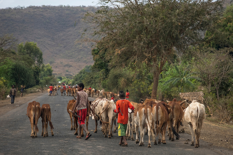Villagers each day herd their cattle out to the countryside to graze, returning in later aftenoon to avoid predators and rustlers.