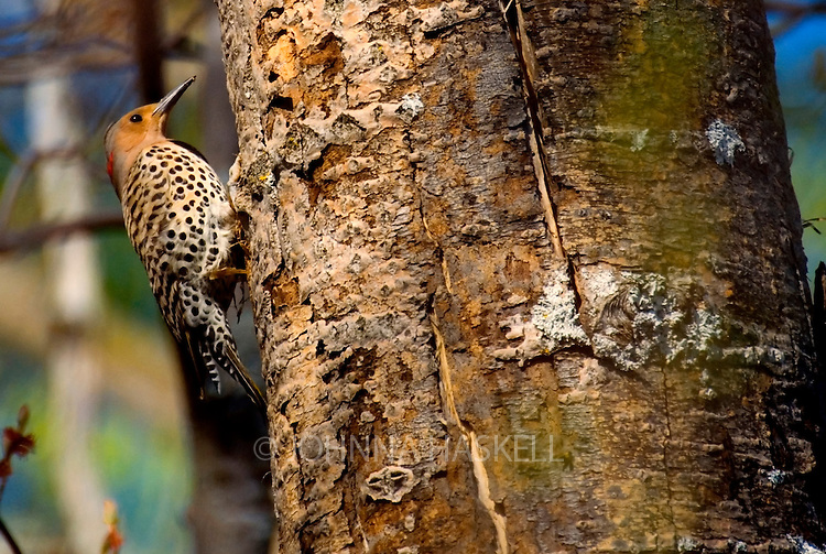 Yellow Shafted Flicker horizontal in Western Maine woods.