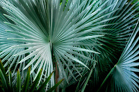 Close up of  Bizmarkia Palm. Hawaii the big island