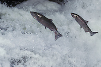 Chinook salmon (Oncorhynchus tshawytscha) leaping falls during migration to their spawning area.  Pacific Northwest.