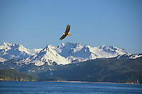 Bald Eagle (Haliaeetus leucocephalus) flying over Kachemak Bay, AK.  April.