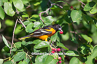 01611-09714 Baltimore Oriole (Icterus galbula) male eating serviceberry (Amelanchier canadensis)  Marion Co., IL