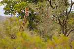 South African Giraffe (Giraffa giraffa giraffa) male chewing, Kruger National Park, South Africa