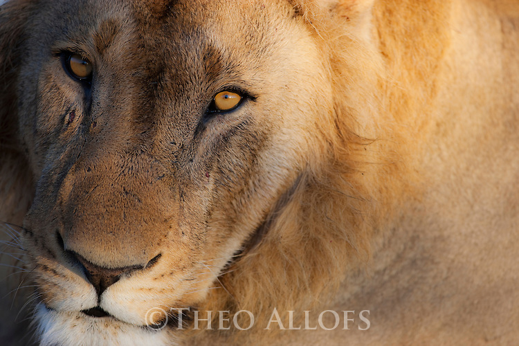 Botswana, Chobe National Park, Savuti, young male lion (Panthera leo) portrait, close-up of face, front view, eye contact
