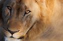 Botswana, Chobe National Park, Savuti, young male lion (Panthera leo) portrait, close-up of face, front view, eye contact
