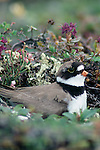 180 bird species call the Artic National Wildlife Refuge home, including this setting semipalmated plover.