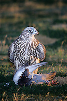 540753002 a falconers gyrfalcon falco rusticolis stands over a rock dove that it has killed in california