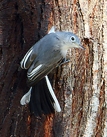 Blue-gray gnatcatcher looking for insects on sap-covered trunk of mesquite tree