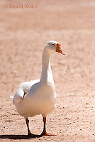 0225-1202  Escaped Domesticated White Chinese Goose in Arizona (Domesticated and Descended from the Wild Swan Goose)  © David Kuhn/Dwight Kuhn Photography