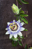 A blue crown passion flower and bud aganist a wood fence background.