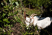 May 21, 2010. Durham, North Carolina.. 16 goats from the Goat Patrol, a goat based weed removal company owned by Alix Bowman, tear into the kudzu and other plants that grow up the sides of the hills on the edge of the American Tobacco Trail..
