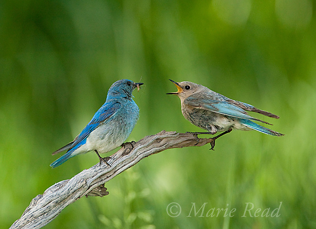 Mountain Bluebird (Sialia currucoides), female (R( begging for food from male near their nest, Lee Vining Canyon, California, USA