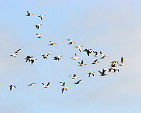 Flock of white and dark lesser snow geese