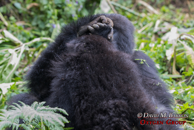 Mountian Gorillas Holding Hands