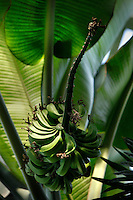 Tropical Rainforest Glasshouse (formerly Le Jardin d'Hiver or Winter Gardens), 1936, René Berger, Jardin des Plantes, Museum National d'Histoire Naturelle, Paris, France. Detail of fruits and leaves of  of Musa plants lit by the afternoon light shining through the Art Deco style glass and metal structure.