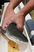 qa70803-D. marine biologist from Bimini Biological Field Station measures baby Lemon Shark (Negaprion brevirostris) captured in mangroves. Bahamas, Atlantic Ocean..Photo Copyright © Brandon Cole. All rights reserved worldwide.  www.brandoncole.com..This photo is NOT free. It is NOT in the public domain. This photo is a Copyrighted Work, registered with the US Copyright Office. .Rights to reproduction of photograph granted only upon payment in full of agreed upon licensing fee. Any use of this photo prior to such payment is an infringement of copyright and punishable by fines up to  $150,000 USD...Brandon Cole.MARINE PHOTOGRAPHY.http://www.brandoncole.com.email: brandoncole@msn.com.4917 N. Boeing Rd..Spokane Valley, WA  99206  USA.tel: 509-535-3489
