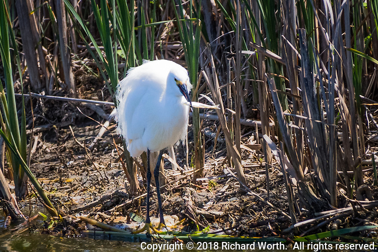 A Snowy egret has captured a small fish along a wetland shoreline at Coyote Hills Regional Shoreline, Fremont, California.