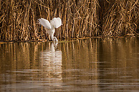 A Great egret spreads its wings for balance and stabs its head deep into the water for food at the Coyote Hills Regional Park, Fremont, California.