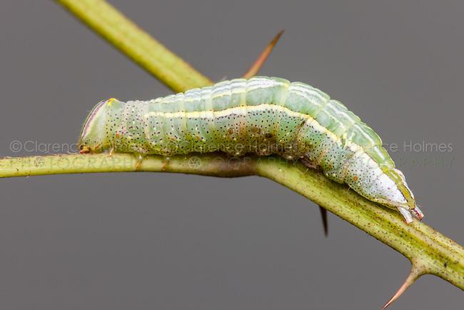 Saddled Prominent (Heterocampa guttivitta) caterpillar (larva)