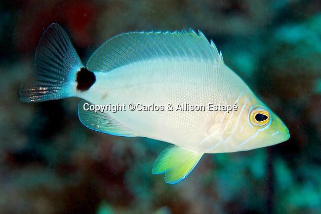 Hypoplectrus unicolor, Butter hamlet, Florida Keys